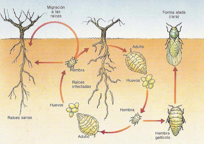 Ciclo filoxera