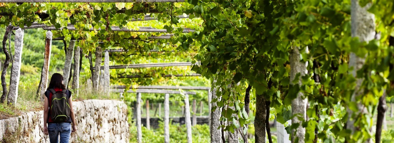 El vino del Camino ...Ruta del vino de Galicia